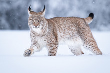 Young Eurasian Lynx On Snow. Amazing Animal, Walking Freely On Snow Covered Meadow On Cold Day. Beautiful Natural Shot In Original And Natural Location. Cute Cub Yet Dangerous And Endangered Predator.