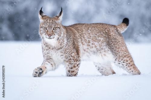 Fotografie, Obraz Young Eurasian lynx on snow