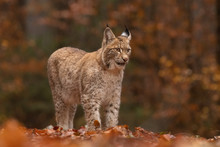Amazing Young Eurasian Lynx In...