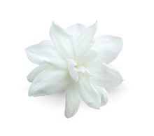 Arabian Jasmine, Jasminum Samb...