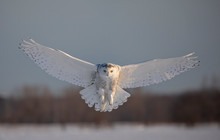 Snowy Owl (Bubo Scandiacus) Prepares To Land In The Snow In Ottawa, Canada