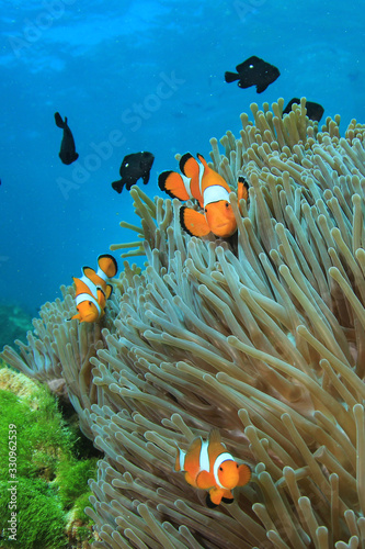 Photo Clownfish. Clown Anemonefish. Fish and anemone on coral reef