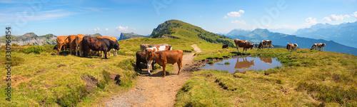 Fototapeta cattle herd at the alpine pasture Niederhorn mountain, hiking in idyllic swiss l