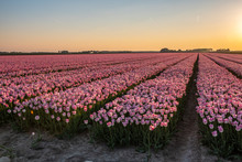 Tulip Fields Are In Bloom, All...