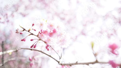 Photo ピンク色の軽やかで華やかな春の景色