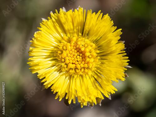 Obraz na plátně Tussilago farfara medicinal plant, podběl lékařský