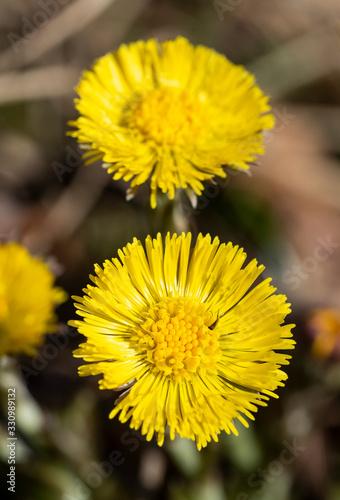 Fototapeta Tussilago farfara medicinal plant, podběl lékařský
