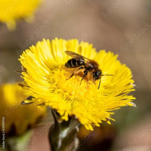 Fotografie, Obraz Tussilago farfara medicinal plant, podběl lékařský