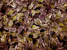 Dense Background Of Juicy Leaves Close Up