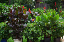 Beautiful Display Of Exotic Canna Plants In A Lush And Green Garden