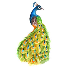 Watercolor Peacock Colorful Il...
