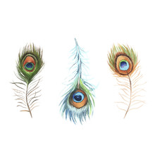 Three Watercolor Peacock Feathers On White Background