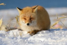Red Tailed Fox, Resting In Win...