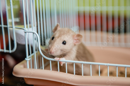 The domestic rat dumbo, white, has leaned out of the open cage and looks Canvas Print