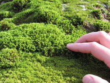 A Person's Hand Touching Moss ...