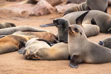 Colony Of Sea Seals