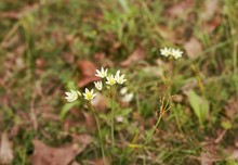 A Group Of Crow Poison Flower (False Garlic) Wildflowers Growing In Texas. These Small Flowers Are A Common Sight In Springtime.
