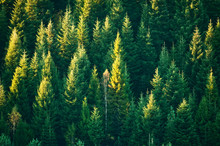 Beautiful Evergreen Forest Wit...