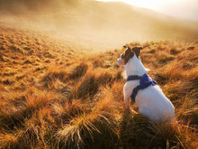 A Parson Jack Russell Terrier ...