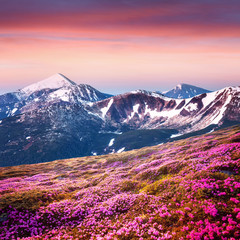 Panel Szklany Krajobraz Rhododendron flowers covered mountains meadow in summer time. Purple sunrise light glowing on snowy peaks on background. Landscape photography