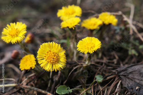 Fotografie, Tablou Coltsfoot flowers in a spring forest