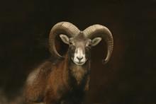 Mouflon (Ovis Orientalis Orien...