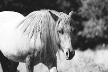 Roan Pony With Long Mane In Bl...
