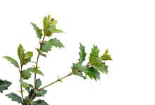 Ilex Aquifolium - Holly Shrub ...