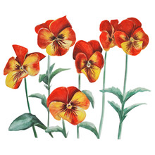 Orange Pansies, Viola Flower. Watercolor Illustration. Hand Drawing On A White Background