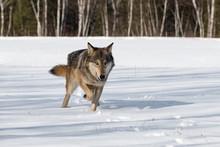 Grey Wolf (Canis Lupus) Trots Forward In Snowy Field Winter