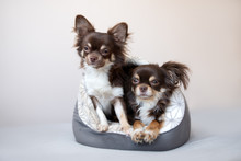 Two Chihuahua Dogs Sharing A S...