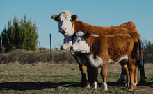 Hereford Cow With Calves On Farm, Beef Cattle Concept.