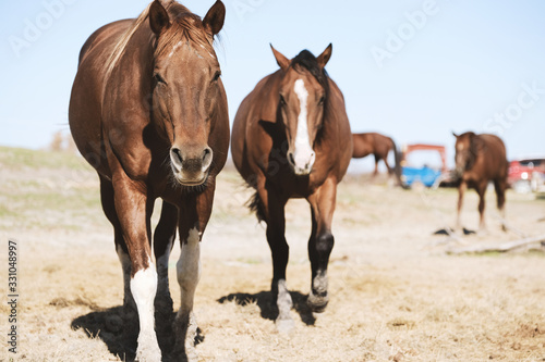 Quarter horse mares close up on sunny day at rural farm.