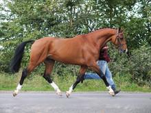 Horse Trotting Up