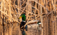 Wild Duck On The Lake In The M...