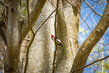 Red-headed Woodpecker Perched ...