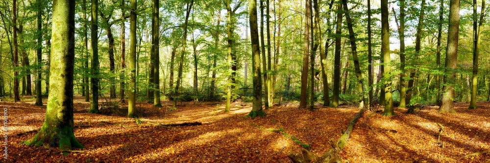 Fototapeta Forest panorama in autumn with lots of sunlight and autumn leaves on the forest floor