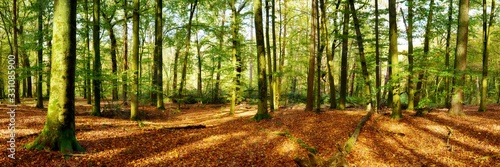Forest panorama in autumn with lots of sunlight and autumn leaves on the forest floor