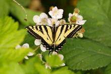 Western Tiger Swallowtail Butterfly On Wildflower.