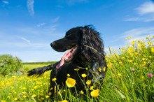 A Black Dog In Long Grass.,Farming