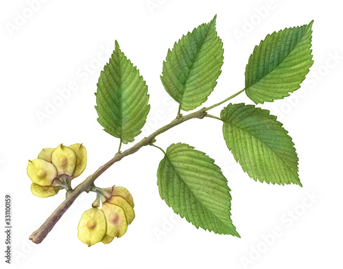 Fényképezés Slippery Elm Hand Drawn Pencil Illustration Isolated on White with Clipping Path