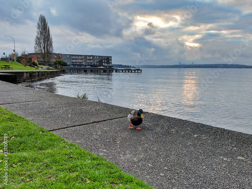 Photo duck searching for crumbs of food on a walking path in a park by Lake Washington