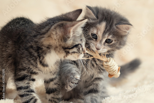 Two cute kittens playing a toy on a cream fluffy fur blanket Canvas Print