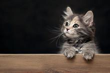 Beautiful Gray Female Kitten R...