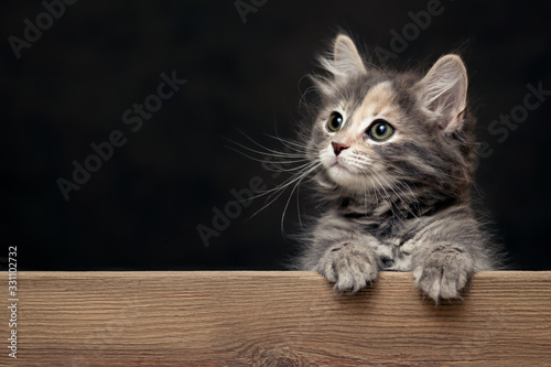 Photographie Beautiful gray female kitten rests its paws on a wooden board