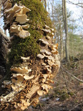 Moss And White Shell Mushrooms Growing On A Dead Tree Trunk In The Forest