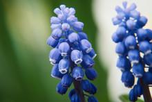 ムスカリの花 クローズアップ
