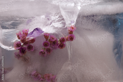 Background of Bergenia, periwinkle   flower    in ice   cube with air bubbles Wallpaper Mural