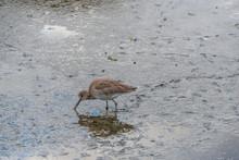 Coastal Willet Bird Looks For ...