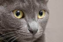 Russian Blue Cat Face Enlargem...